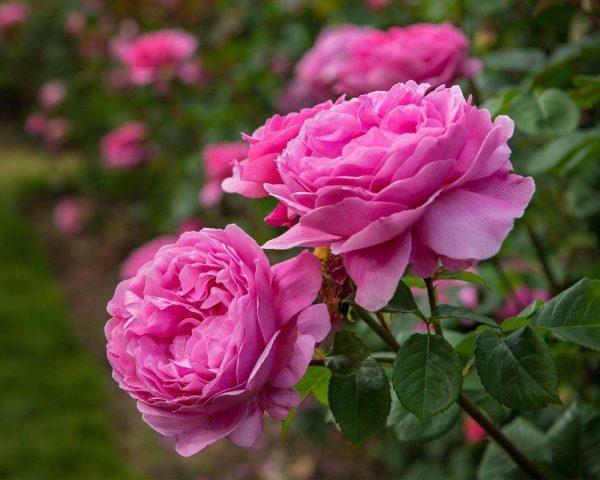 گلاب دو آتیشه کاشان